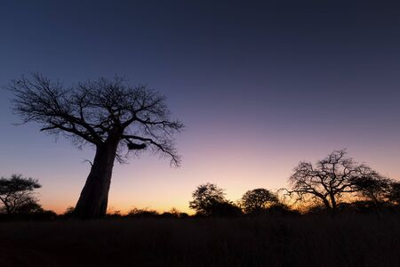 adansonia: Large baobab tree without leaves at sunrise with a clear sky