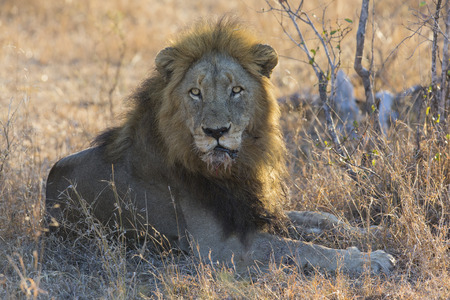 lay down: Male lion lay down to rest on gras after eating