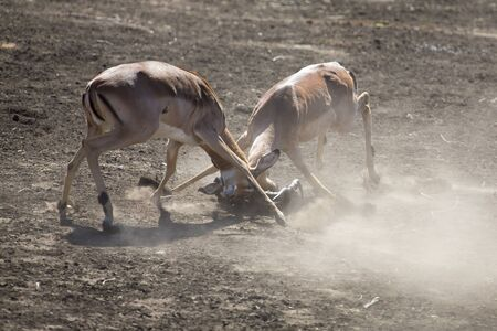 rivals rival rivalry season: Two impala male fight on dusty and dry sand