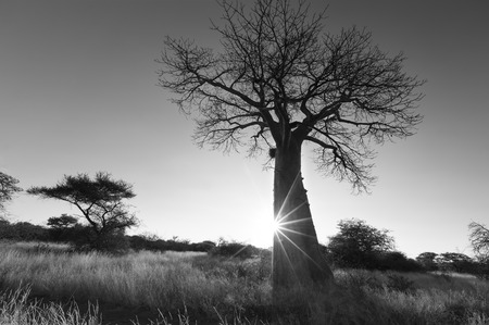 adansonia: Large baobab tree without leaves at sunrise with a clear sky artistic conversion