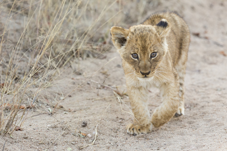 lion cub: Small lion cub walking along a dirt road with grass