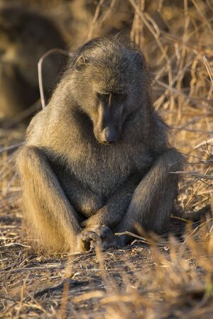 strengthen: Baboon family play to strengthen bonds and having fun in nature