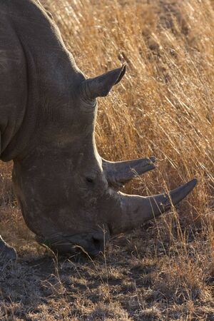 tough: Close-up of a white rhino head with tough wrinkled skin Stock Photo