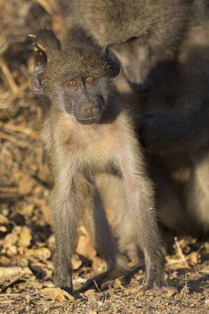 juego de la familia del babuino para fortalecer los lazos y se divierten en la naturaleza