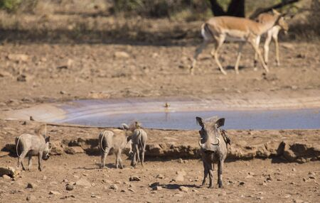 pozo de agua: Warthog family standing at a waterhole after drinking