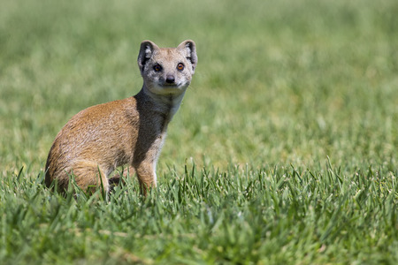 opportunist: Yellow Mongoose hunting for prey on green grass