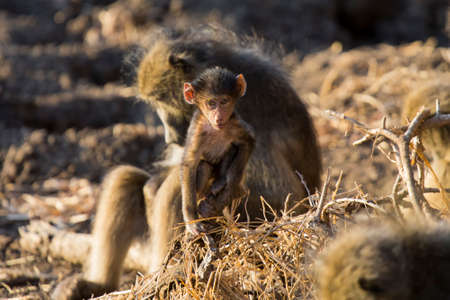 bonds: Baboon family play to strengthen bonds and having fun in nature