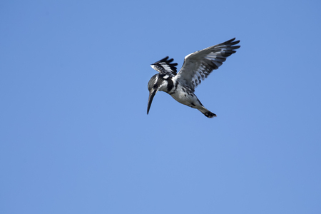 hover: Pied Kingfisher hover in flight to hunt for fish