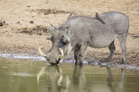 pozo de agua: Solo viejo de pie Warthog en el pozo de agua potable