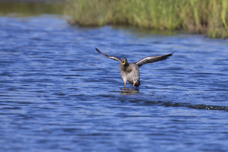 spreaded: Yellow billed duck landing on a pond of blue water Stock Photo