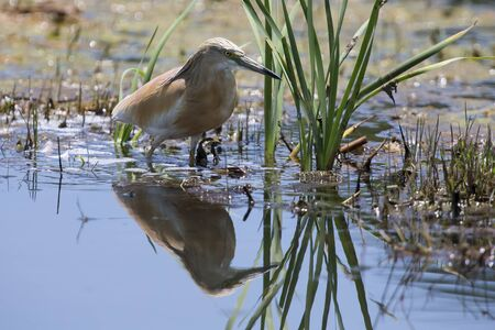 wild silky white: Squacco Heron hunting for food among reeds and shallow water