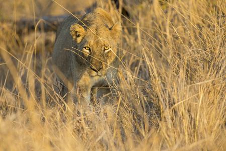 Lioness move in brown grass to a kill