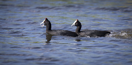 courtship: Two red knobbed Coots chasing each other in a courtship