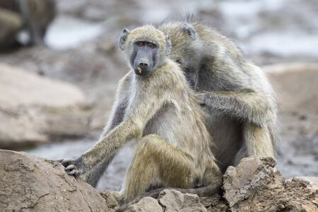 playful behaviour: Baboon family play to strengthen bonds and having fun in nature