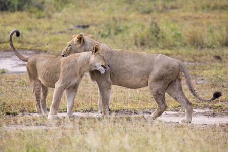 affirm: Two male lions greeting to affirm old loyalty bond