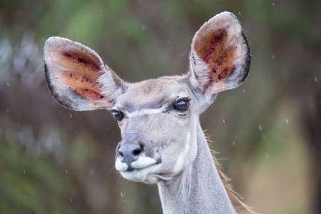 harmless: Kudu cow portrait close-up with very big ears Stock Photo