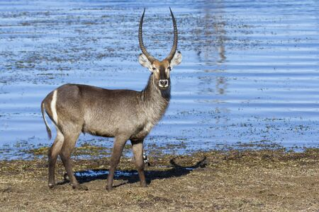 bovidae: Huge male waterbuck standing on the shore of a lake Stock Photo