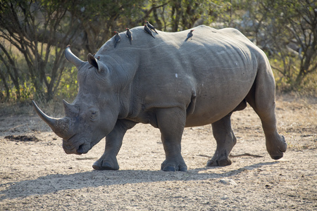 poach: Lone rhino walking on a open area looking for safety from poachers