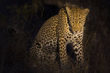nocturnal: Leopard sitting in darkness hunting nocturnal prey in a spotlight