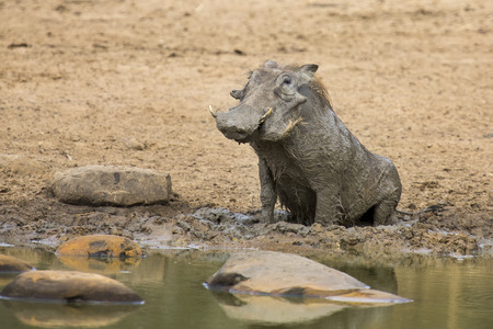 cool off: Lone warthog playing in wet mud to cool off