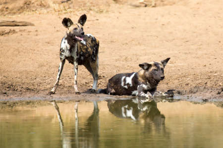 waterhole: Two wild dogs rest next to a waterhole to drink some water Stock Photo