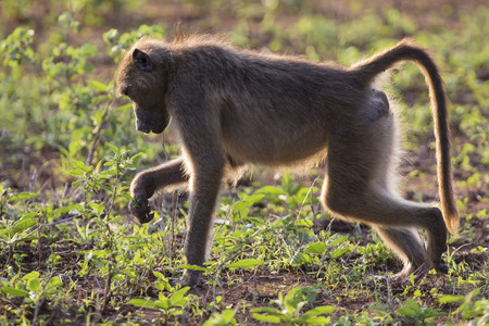 omnivores: Baboon forage for food in the early morning sunshine