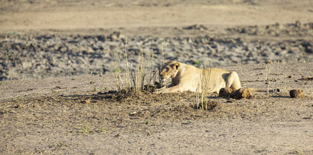 ambush: Lioness lying on sand in ambush looking alert for prey