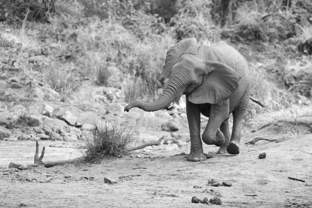 the water hole: Elephant herd calf and mother charge towards a water hole