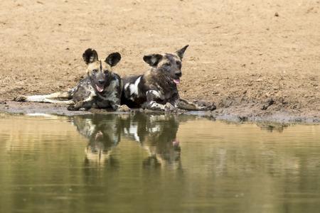 at waterhole: Dos perros salvajes de descanso junto a una charca para beber un poco de agua