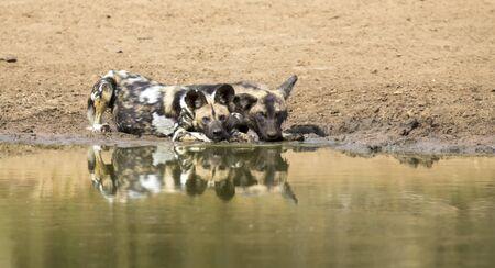 waterhole: Dos perros salvajes de descanso junto a una charca para beber un poco de agua