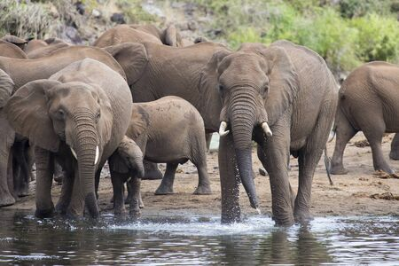 the water hole: Large elephant herd stand and drink at the edge of a water hole Stock Photo