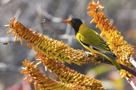 oriole: Black-headed oriole sitting on yellow aloe to catch wild bees Stock Photo