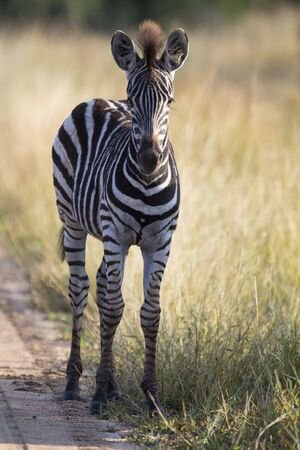 equid: Small zebra foal standing on a road alone looking for his mother Stock Photo