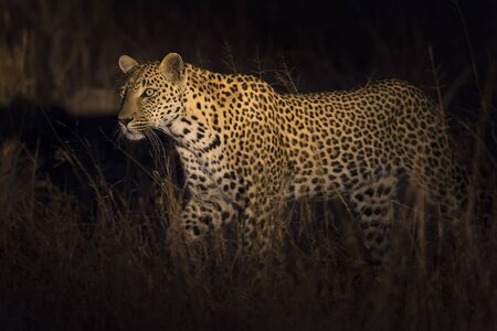 nocturnal: Leopard walking in darkness hunting nocturnal prey in a spotlight