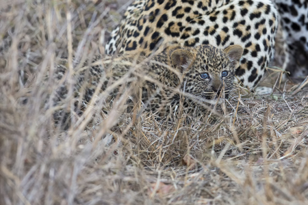 hunter playful: Leopard mother cares for her cub in the gathering darkness Stock Photo