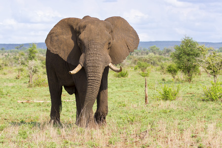 tusks: Big elephant bull with large tusks approaching over a savannah plain