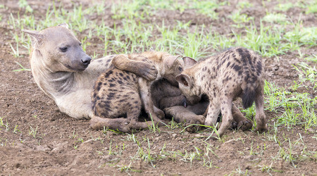 cubs: Hyena cubs feeding on their mother as part of family