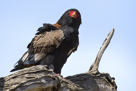 a large bird of prey: Mature bateleur sit in a tree with blue sky in background