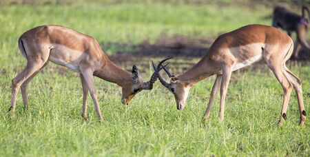 rivals rival rivalry season: Two males impala fight in for the herd with the best territory Stock Photo