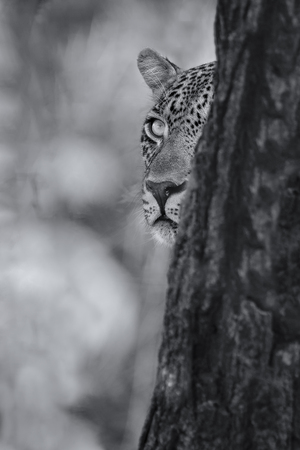 Leopard looking carefully from behind a tree at a prey in artistic conversion Stock Photo