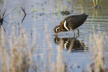 shallow water: Painted snipe female walking in shallow water hunting for insects