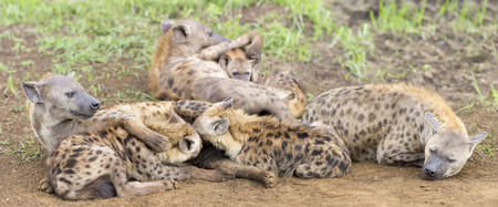 suckle: Hyena cubs feeding on their mother as part of family