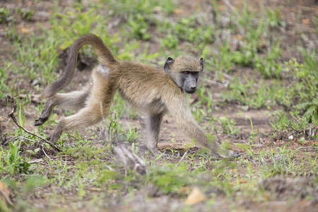 Baboon forage for food in the early morning sunshine