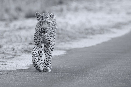 Beautiful large female leopard walking in nature hunting for food Stock Photo