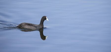 Red knobbed Coot swimming on smooth and blue water Stock Photo