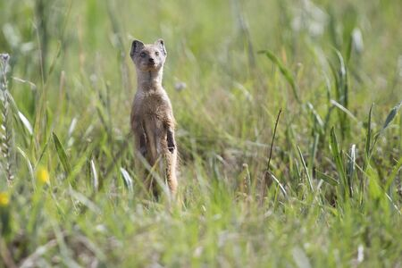 Yellow Mongoose hunting for prey in green grass