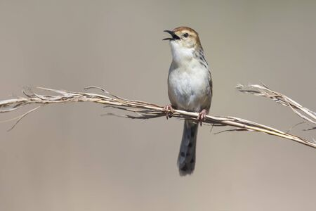 bird song: Small brown cisticola sitting and singing on a grass stem