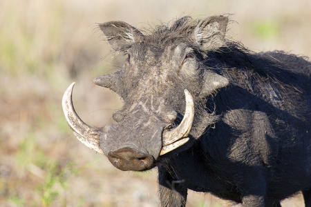 Single old Warthog with some huge teeth portrait