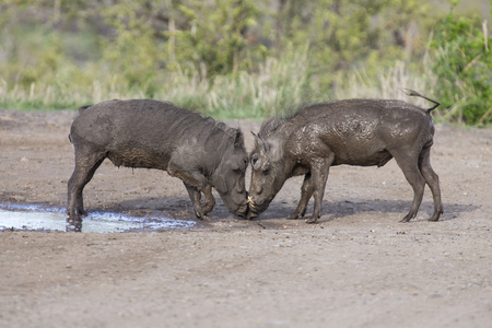 Two young warthogs fight at a small pond in a road Stock Photo