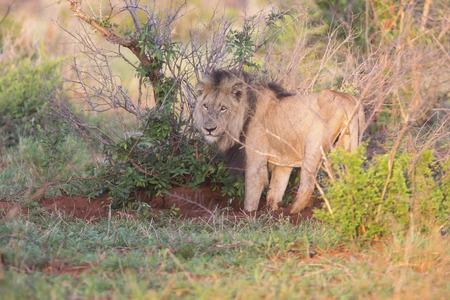 自然の中の古い空腹のライオンの雄狩り